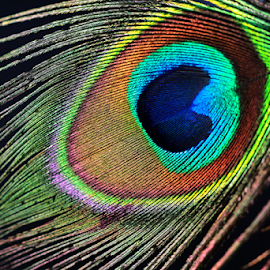 by Dipali S - Artistic Objects Other Objects ( macro, artistic, feather, peacock, closeup )