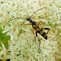 Spotted Longhorn