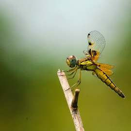 NATURE'S CLOSE UP  by Kajal Suman Chatterjee - Abstract Macro ( #nature, #wings, #close up, #green, #standing shot, #dragonfly )