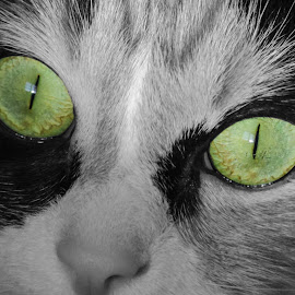 Green eyes by Eve Spring - Animals - Cats Portraits ( face, macro, cat, green, eyes,  )