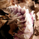 Common toothwort, potajnica
