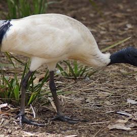 IBIS by Kerry Cooper - Animals Birds
