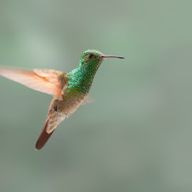 HUMMINBIRD by Alfonso Emmanuel Galina - Animals Birds ( en vuelo, colibri, humminbird )