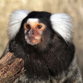 marmoset by Ralph Harvey - Animals Other Mammals ( animal. marmoset, wildlife, ralph harvey, longleat )