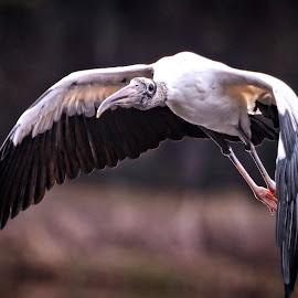 Wood stork low fly-by by Sandy Scott - Animals Birds ( stork, fishing brids, water birds, birds, wading birds, wood stork,  )
