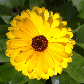 Beautiful by Khalid Farooq - Flowers Single Flower ( lahore, petals, marigold, yellow, spring,  )
