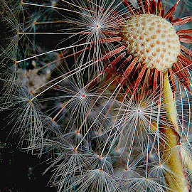Save Your Power by Marija Jilek - Nature Up Close Other plants ( dandelion, nature, plants, power, seeds, stem, head )