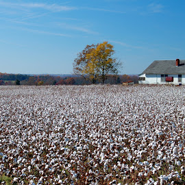 Cotton Field by Tony Moore - Landscapes Prairies, Meadows & Fields ( farm, field, cotton, nc, lincoln county, crops )