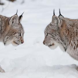 Lynx by Rita Birkeland - Animals Other ( big cat, predator, rovdyr, lynx, gaupe langedrag, wildlife, gaupe, animal )