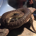 Bredl's python