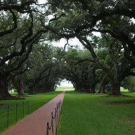 The Oak Alley by Sue Huhn - Landscapes Travel ( new orleans, wood, plantation, oak alley, oak tree,  )
