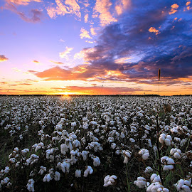 Cotton Field Sunset by Renee C - Landscapes Prairies, Meadows & Fields
