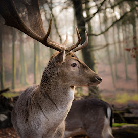 Distinctive Profile by Johannes Schaffert - Animals Other Mammals ( winter coat, horns, fallow deer, forest, wildgehege, damwild, mammal, nature, antlers, germany, bochum, damhirsch, weitmar, deer )