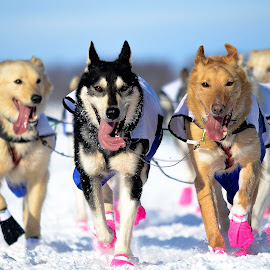 We Run For The Love by Jeremy Jordan - Animals - Dogs Running ( #iditarod #winter #alaska )
