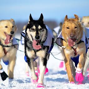 We Run For The Love by Jeremy Jordan - Animals - Dogs Running ( #iditarod #winter #alaska,  )