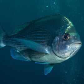 hey you... by Claudia Weber-Gebert - Animals Fish ( water, reef, underwater, fish, sea, ocean, close up, contact, macro, mediterranean, france, diving, animal )