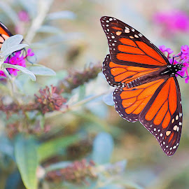 Butterfly by Shawn Klawitter - Animals Insects & Spiders ( butterfly, nature, outdoors, artistic )