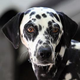 Portrait by John Phielix - Animals - Dogs Portraits ( dog, portrait, animal,  )