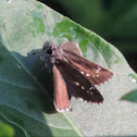 Dusky Roadside-Skipper