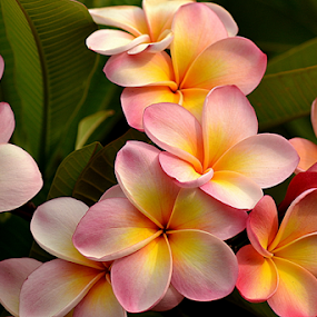 Pink Frangipani 75 by Mark Zouroudis - Flowers Flowers in the Wild (  )