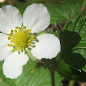 California Strawberry Blossoms