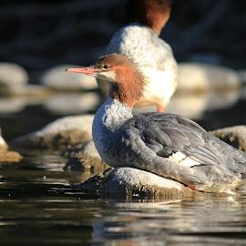 Common Merganser by Shelly Priest - Animals Birds ( bird, waterfowl, elbow river, common merganser, duck )