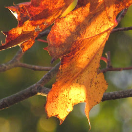 Amber Autumn Glow by Anne Santostefano - Nature Up Close Leaves & Grasses ( nature, fall, leaves,  )