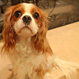 Kennedy by Lauren Young - Animals - Dogs Portraits ( king charles, cavalier, spaniel )