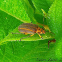 Striped Leaf Beetle