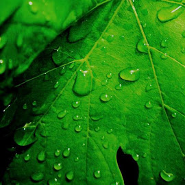 Raindrops on grape leaf by Hrodulf Steinkampf - Nature Up Close Leaves & Grasses ( water, water drops, grapevine, grape, vine, drops, raindrops, leaf, rain )