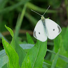 Cabbage White (male)