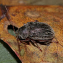 Undetermined leaf beetle