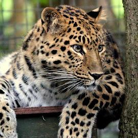 Amur Leopard by Ralph Harvey - Animals Lions, Tigers & Big Cats ( wildlife, ralph harvey, leopard, marwell zoo, animal )