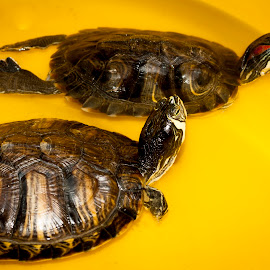 Turtles by Tomato Wong - Animals Reptiles ( canon, reptiles, 1000d, nature, 50mm, turtles, turtle, together )