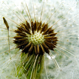 simple dandelion images by Hendrata Yoga Surya - Instagram & Mobile Android