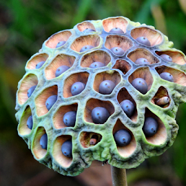 Lotus pod by Yusop Sulaiman - Nature Up Close Other plants