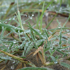 Grass with  water drops by Sathya Dev - Nature Up Close Leaves & Grasses