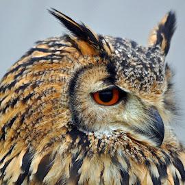 Indian Eagle Owl 2 by Marco Bertamé - Animals Birds ( portait, bird, owl, indian eagle owl, eyes,  )