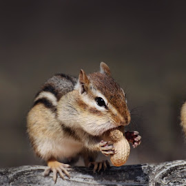 Three Peanuts by Liz Crono - Animals Other Mammals ( peanuts, animals, three, chipmunks,  )