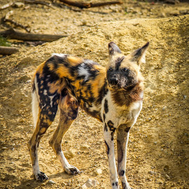 Wild painted dog from Africa by Judith Dueck - Animals - Dogs Portraits ( spotted, single, african, wildlife, travel, ferel, predator, carnivore, solo, rare, conservation, safari, plain, africa, alone, lonely, moremi, wild, botswana, painted, species, park, national, game, mammal, hunter, habitat, wilderness, wolf, hunting, endangered, brown, dog, natural )