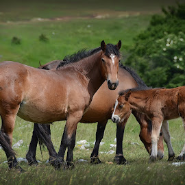 Horses on Velebit by Cristian Peša - Animals Horses