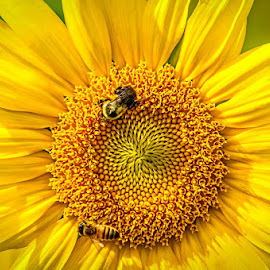 Sunshine by Gary McDaniel - Nature Up Close Gardens & Produce ( bees, macro, bugs, nature, green, sunflower, yellow, insects, flowers, honey bee )