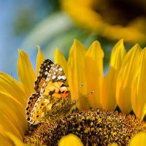 Sunflower by Fitria Ramli - Flowers Flower Gardens ( butterfly, macro, sunflower, nikon, insects, closeup, flower,  )