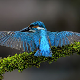 Common Kingfisher by Raj Dhage - Animals Birds
