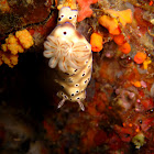 Nudibranch - C. leopardus