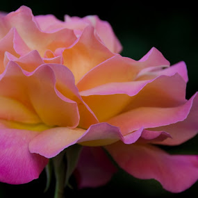 Blissful Rose by Kirsten Morse - Nature Up Close Flowers