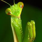 Green Praying mantis
