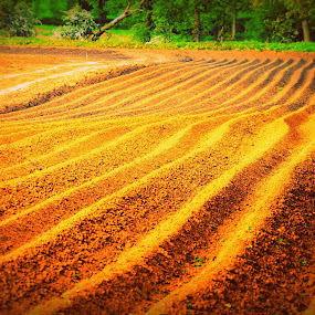 Field of Gold by Neil Hannam - Landscapes Prairies, Meadows & Fields ( field, agriculture, wildlife, forest, landscape,  )