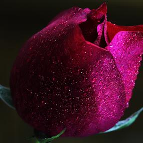 by Md Mamunur Rahman - Flowers Single Flower (  )