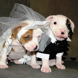 Michele Gambone Photography by Michele Gambone - Animals - Dogs Puppies ( love, cuteness, pitbull, puppy, bride and groom )